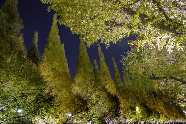 ライトアップ「イチョウ並木」