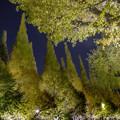 Photos: ライトアップ「イチョウ並木」