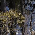 Photos: 宝登山の蝋梅