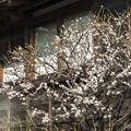 Photos: カフェの白梅