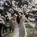 写真: 御苑の桜「高遠子彼岸桜」