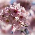 御苑の桜「陽光&大島桜」