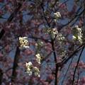 写真: 御苑の桜「陽光&大島桜」