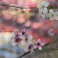 写真: 数寄屋橋の桜
