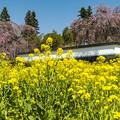 Photos: しだれ咲く慈雲寺