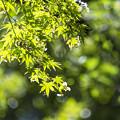 Photos: 新緑「青紅葉」