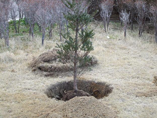 写真: 「櫟」永世王将記念樹2007/3/21