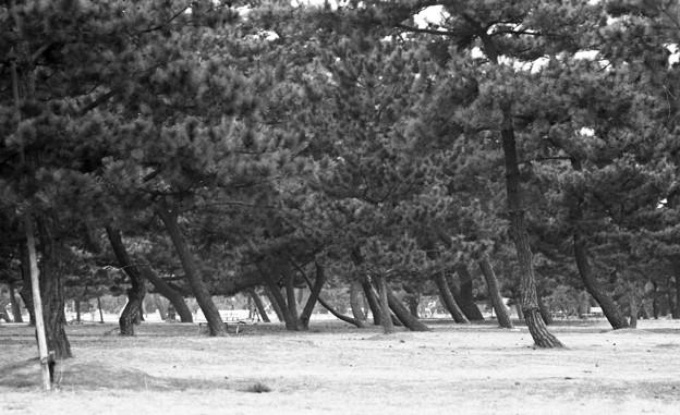 昭和53年 浜寺公園の松林