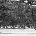 写真: 昭和53年 浜寺公園の松林