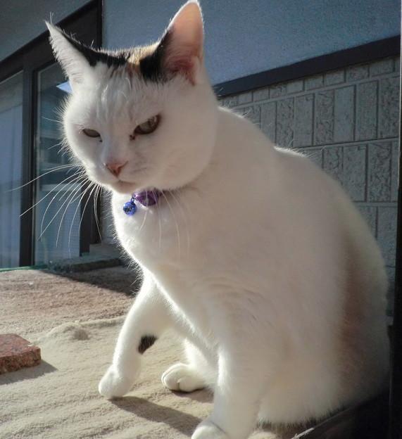 日光浴をする「シロ」(2015年12月).5