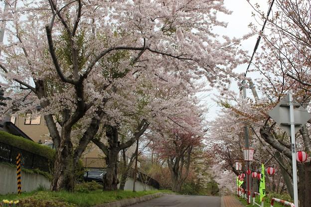 室蘭・母恋富士下 桜並木 (1)