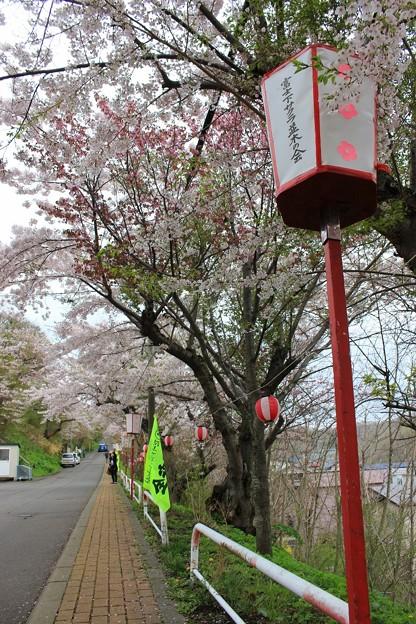 室蘭・母恋富士下 桜並木 (2)