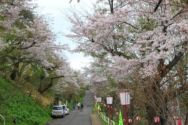 室蘭・母恋富士下 桜並木 (3)