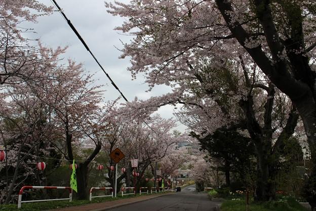 室蘭・母恋富士下 桜並木