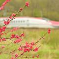 写真: 赤い花の中を行く3