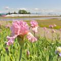 写真: 沿線に咲く