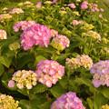 紫陽花に見送られ3