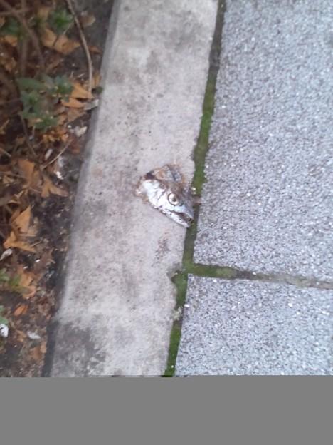 道にペタンコな魚の頭が落ちてる。
