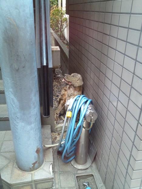 今日見たもの。壁の隙間に挟まった犬。の作り物。最初、本物かと思ったよ。