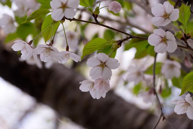 桜シリーズ.2