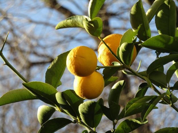 我が家のレモンはまん丸