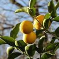 写真: 我が家のレモンはまん丸