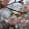 Photos: 大漁桜