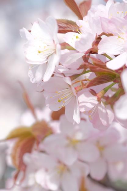 小樽の桜2018 手宮公園2