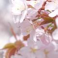 写真: 小樽の桜2018 手宮公園2