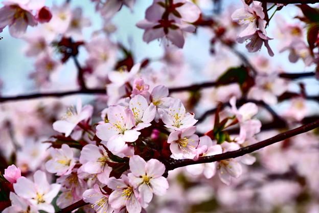 写真: 小樽の桜2018 手宮公園6