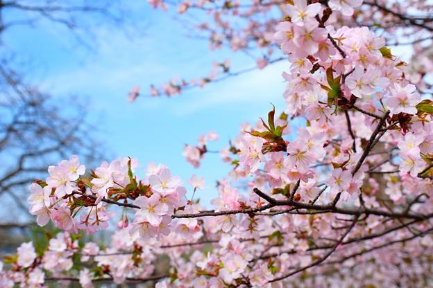 小樽の桜2018 手宮公園7