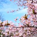 写真: 小樽の桜2018 手宮公園7