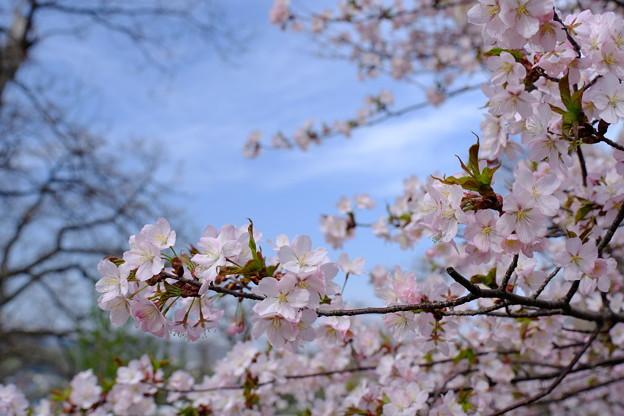 小樽の桜2018 手宮公園9