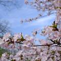 写真: 小樽の桜2018 手宮公園9