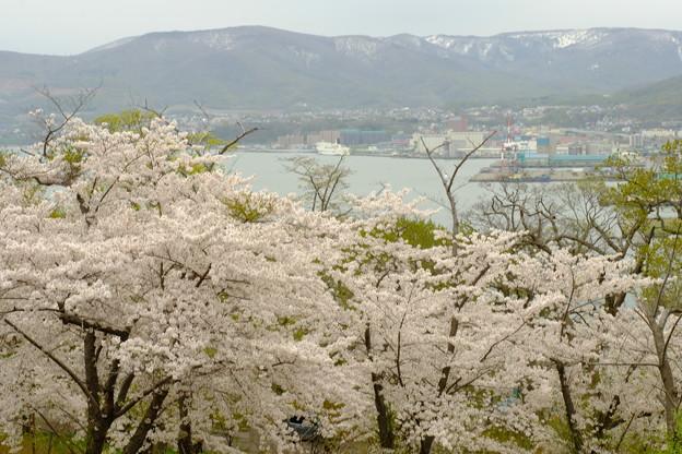 小樽の桜2018 手宮公園10