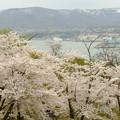 写真: 小樽の桜2018 手宮公園10