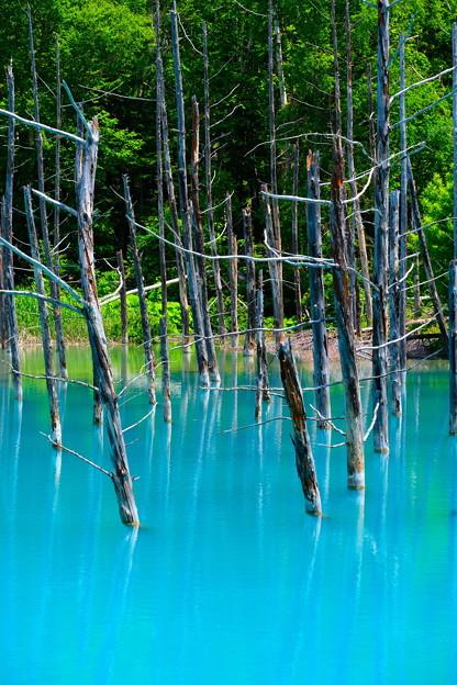 写真: 美瑛 青い池6