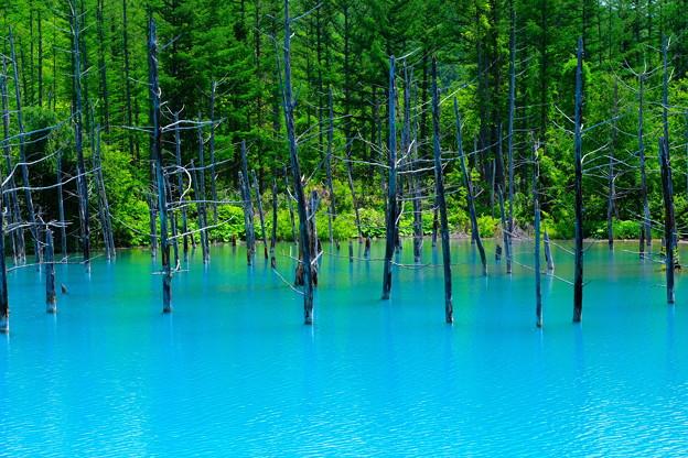 美瑛 青い池8