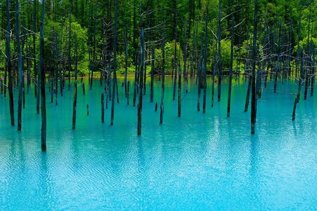 写真: 美瑛 青い池2
