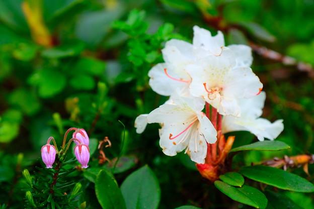 大雪山旭平に咲く花1