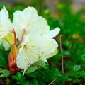 大雪山旭平に咲く花2