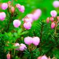 大雪山旭平に咲く花3