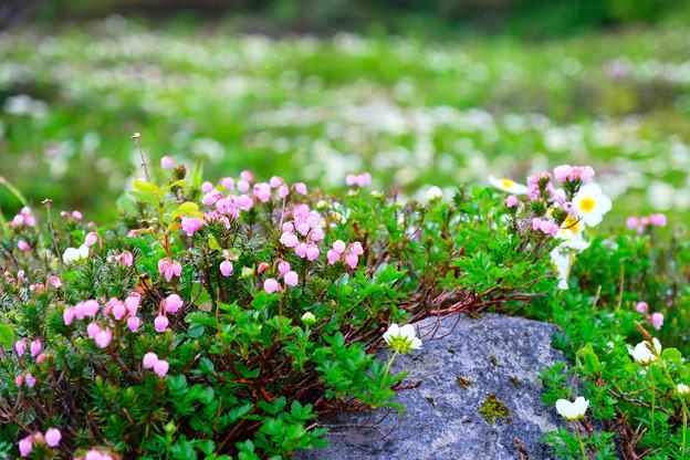 大雪山旭平に咲く花4