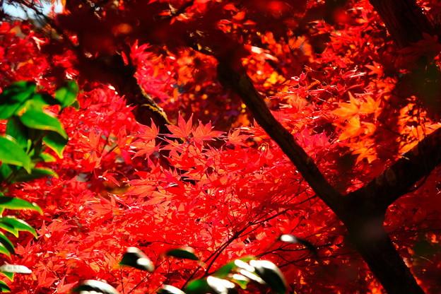 日を浴びる裏紅葉