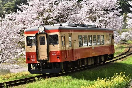 桜のトンネルとキハ20