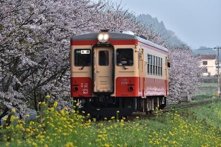 新田野の桜とキハ