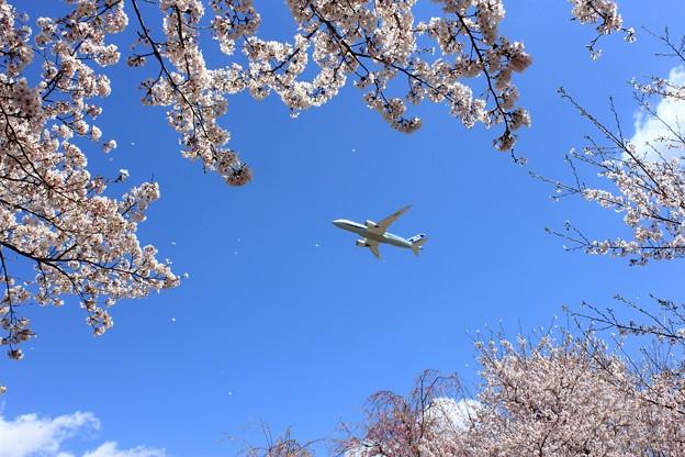 桜とANA
