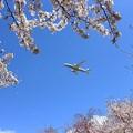Photos: 桜とANA