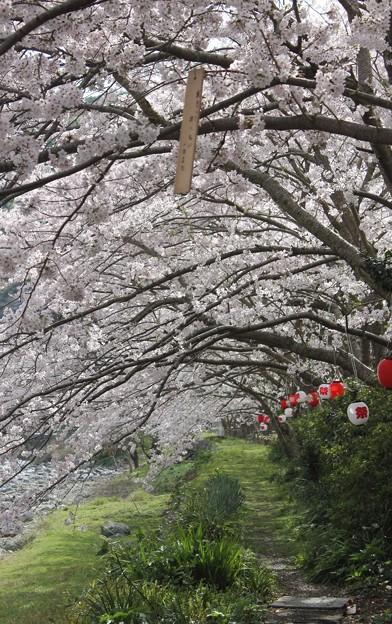 桜のトンネル