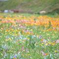 写真: 田んぼを使った花畑
